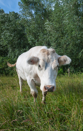 curiously: Portrait of a white cow curiously looking to the photographer.