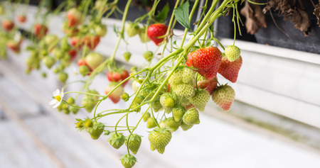 horticulture: Close-up of ripe and unripe strawberries dangling in a specialized Dutch horticulture business.