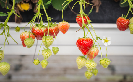 dangling: Close-up of ripe and unripe strawberries dangling in a specialized Dutch horticulture business.