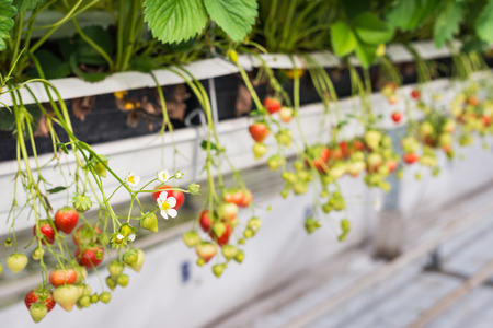 horticulture: Close-up of white strawberry blossom between  ripe and unripe strawberries dangling in a specialized Dutch horticulture business. Stock Photo