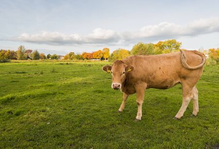 wagging: Brown cow standing in the grass at the edge of a village is wagging its tail.