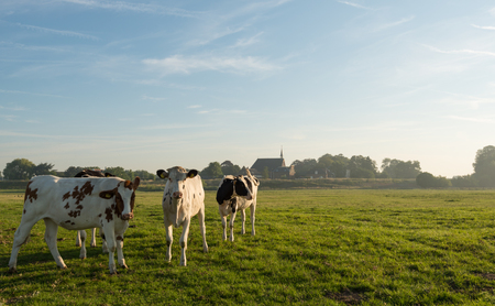 red heifer: Group spotted heifers standing on the floodplain at a Dutch river curiously looking at the photographer. It is very early in the morning of a sunny summer day. Some haze is still visible. Stock Photo