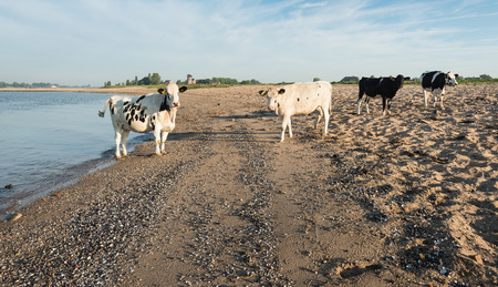 Stil: Four young black and white spotted cows standing on the sand next to a Dutch river. It is stil early in the morning and the low sun caused long shadows.