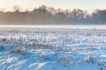 zea mays: Dutch agricultural landscape in wintertime. In the distance there is still some haze above the field.