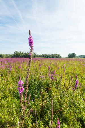 flood area: Dutch natural area on the flood plain of a big river with a large wetland area with abundant flowering wild purple loosestrife or Lythrum salicaria plants. One flower stands out from the others.