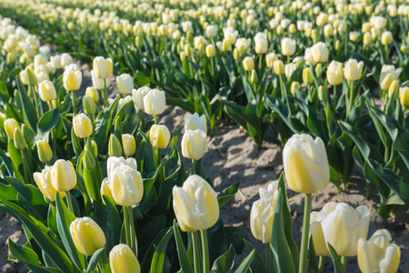 grower: Cream colored blooming tulips in tall plant beds in the field of a Dutch bulb grower on a sunny morning in the spring season.