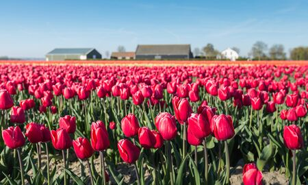 bulb tulip: Red flowering tulip plants in the foreground at the nursery of a bulb grower in the Netherlands. Stock Photo