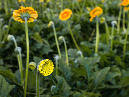 flower nursery: Closeup of the yellow bud of a Gerbera plant in a specialized Dutch flower nursery.