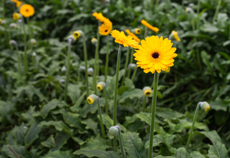 hearted: Flowering and budding brown hearted yellow Gerbera plants in a specialized Dutch flower nursery. Stock Photo