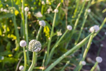spring onion: Closeup of seed heads of haggard onion plants in backlit on a sunny day in the summer season.