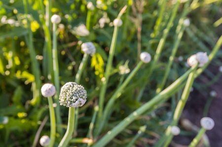 cebolla blanca: Primer plano de cabezas de semillas de plantas de cebolla demacrados en retroiluminado en un d�a soleado en la temporada de verano. Foto de archivo