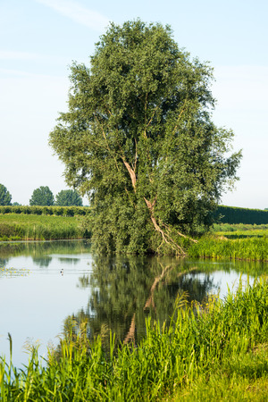 windless: Crooked willow tree reflected in the mirror like surface of a small stream on a windless day in the summer season. Stock Photo