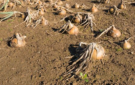 disadvantaged: The field was flooded and the onions  are now rotting and unusable.