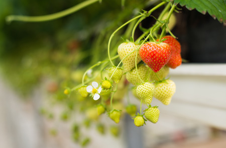 ergonomic: Closeup of a strawberry plant with white flowers, unripe and ripe strawberries. The plant is cultivated at ergonomic picking height in a specialized Dutch glasshouse horticulture business. Stock Photo