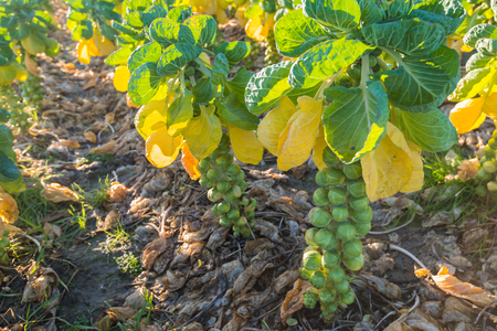 Closeup of fresh green, yellowed and withered brown leaves of Brussels sprouts plants with mature sprouts ready for harvesting. Stock Photo