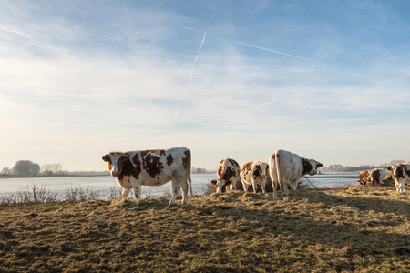 heifers: Backllit image of red and white heifers on the bank of a wide Dutch river on a sunny winter day in December. Due to the unseasonably warm weather, the cows are still outside. They get supplementary feeding of dried grass. Stock Photo