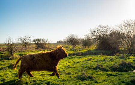 highlander: Imagen con iluminaci�n posterior de un monta��s escoc�s con un abrigo de invierno gruesa que va r�pidamente lejos en la vista del fot�grafo en la reserva natural holand�s.