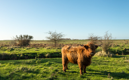 highlander: Scottish Highlander cow in winter coat proudly poses for the photographer in a Dutch nature reserve. Its a sunny day at the end of autumn. Foto de archivo