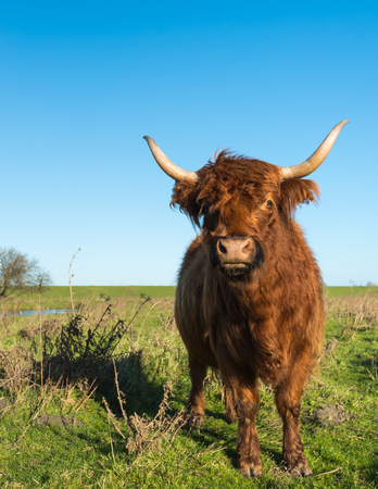 end of a long day: Scottish Highlander cow in winter coat and long horns proudly poses for the photographer in a Dutch nature reserve. Its a sunny day at the end of autumn.