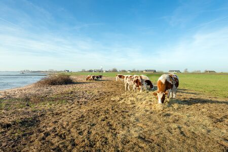 to get warm: Red and white heifers on the bank of a wide Dutch river on a sunny winter day in December. Due to the unseasonably warm weather, the cows are still outside. They get supplementary feeding of dried grass. Stock Photo