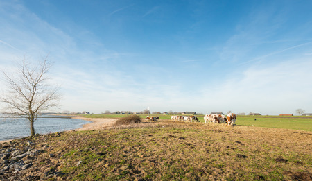 to get warm: Red and white heifers on the bank of a wide Dutch river on a sunny winter day in December. Due to the unseasonably warm weather, the cows are still outside. They get supplementary feeding of hay. Stock Photo