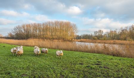 curiously: Curiously looking sheep in grassland a colorful autumn landscape with a small river, leafless trees and yellowed reeds.