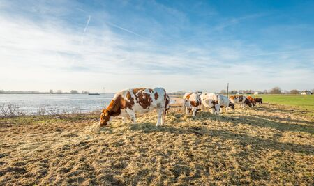 heifers: Red and white spotted heifers on the bank of a wide Dutch river on a sunny winter morning in December. Due to the unseasonably warm weather, the cows are still outside. They get supplementary feeding of hay. Stock Photo