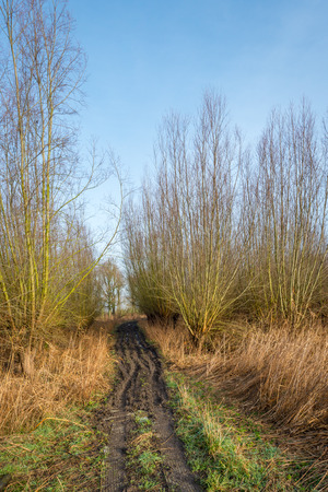 pollard: Curved access path with muddy ruts to a wood with pollard willows. Soon, the willows are cut and the osiers are harvested. Stock Photo