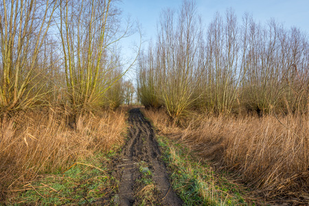 pollard: Access path with muddy ruts to a wood with pollard willows. Soon, the willows are cut and the osiers are harvested.