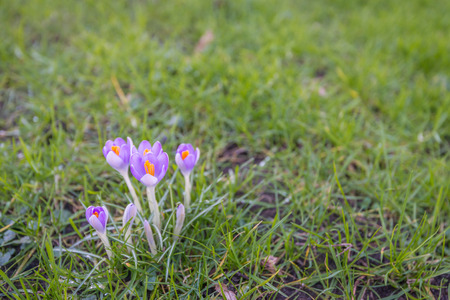 croci: The first crocuses of the season blooming in the lawn of a park. Its still the middle of the winter season.