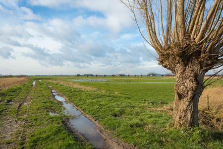 pollard: Rural landscape in the Netherlands with reflecting puddles and a bare pollard willow in the foreground.
