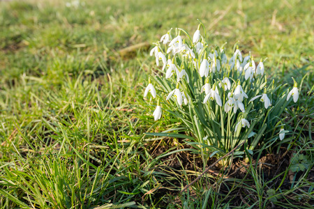 nivalis: Closeup of pure white blooming common snowdrops or Galanthus nivalis plants growing between the grass in a Dutch nature reserve from close. Stock Photo