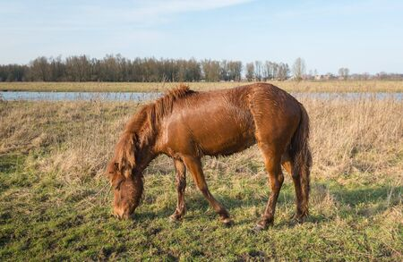 despite: Drenched Icelandic horse grazes dripping wet in the grass of a Dutch nature reserve. Despite the cold winter day the horse went to swim in the water of the adjacent stream.