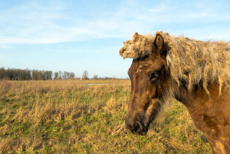 Closeup of a light brown Icelandic horse in a Dutch nature reserve on a sunny day in the winter season. The mane of the mare are full of tangles due to the flower heads of lesser burdock or Arctium minus plants. Stock Photo - 54264403