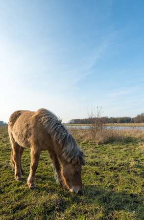 floodplain: Backlit image of a light brown Icelandic horse grazing on the floodplain of a  Dutch river. Its a sunny day in the winter season.