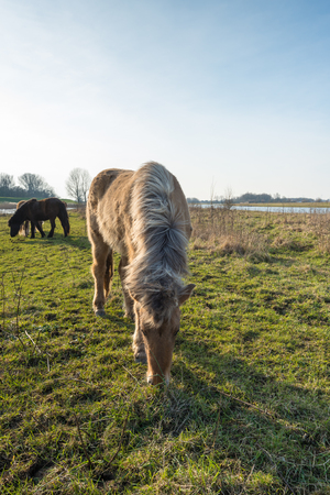 light brown horse: Backlit image of a light brown Icelandic horse in the foreground grazing on the floodplain of a  Dutch river. In the background are two other horses.
