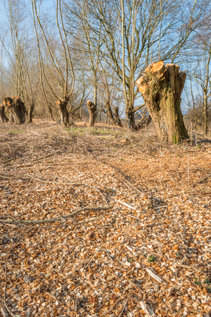pollard: In the foreground scattered woodchips obtained from the shredded prunings from the pollard  willows in the background. It is a sunny day in the end of the winter season. Stock Photo