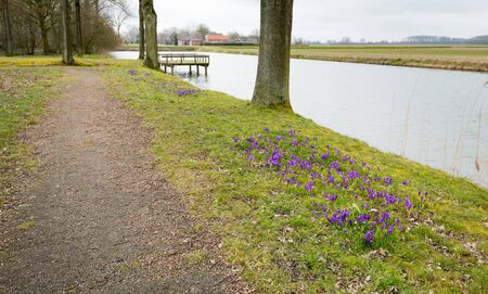 croci: Blossoming violet crocuses along the water in the Dutch park. It is the first spring day of the new season but the sky is very cloudy.