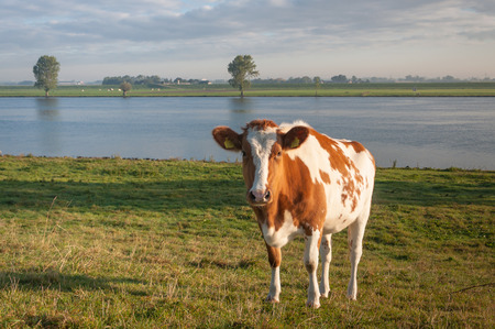 red heifer: Red and white cow on the banks of a river in the Netherlands on a sunny day in the fall season.