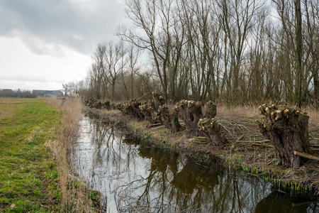 pollard: Recently pollard willow trees on the edge of a creek. The pruned branches are ready for transport.