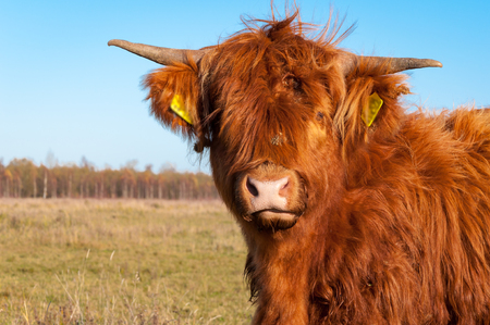 closeup cow face: Portrait of a highland cow with long hair with some greater burdocks.