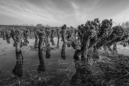 pollard: Dramatized monochrome image of pollard irregularly shaped willow trees reflected in the mirror-smooth surface.