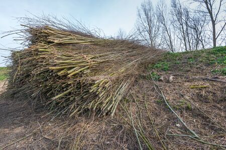 bunched: Bundled bunches of willow branches on the slope of a dike waiting for transport.