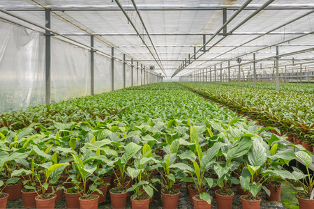 specializes: Many potted plants in a large Dutch glasshouse horticulture company that specializes in houseplants.