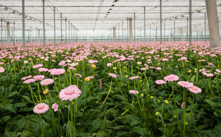 hothouse: Pink blossoming gerbera plants in a large hothouse in the Netherlands.