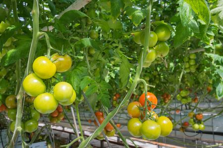 maturity: Tomatoes in different stages of maturity in a large Dutch greenhouse. The plants are growing on substrate with very carefully formulated and dosed liquid food. Stock Photo