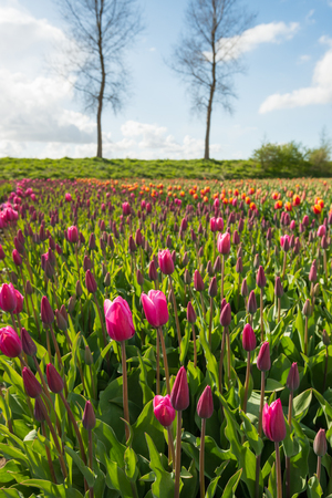 pinks: Pinks buds and flowers of tulip bulbs in front of a Dutch dike with bare trees. Stock Photo