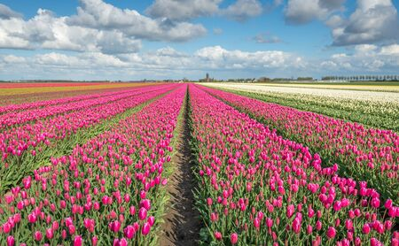 grower: Large beds with mostly pink flowering tulips in the field of a specialized Dutch grower at the edge of a small village.