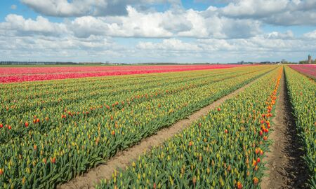 grower: Large beds with mostly orange budding tulips in the field of a specialized Dutch grower at the edge of a small village. Stock Photo