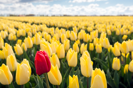 alone in crowd: One pigheaded red tulip blooming on the edge of a Dutch field with only yellow tulip flowers. It is a sunny day at the beginning of the spring season.